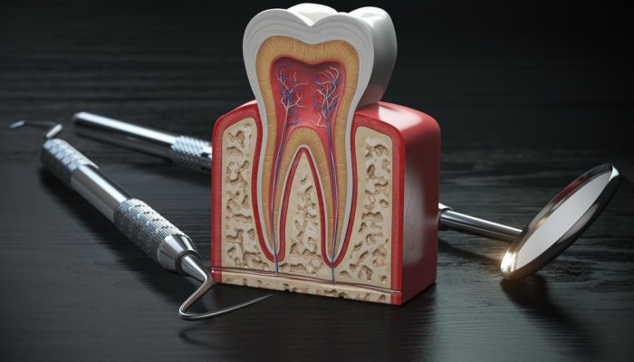 tooth-model-cross-section